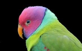 Картинка темный фон, птица, попугай, цветной