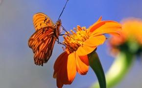 Картинка цветок, фон, бабочка, оранжевые