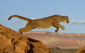 Обои кошка, хищник, пума, африка, скалы, прыжок