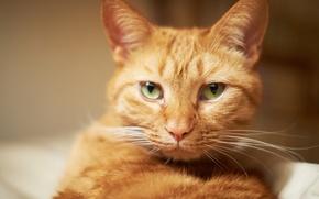 Картинка кот, усы, морда, рыжий, котэ
