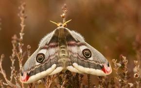 Обои Павлиноглазка, макро, бабочка