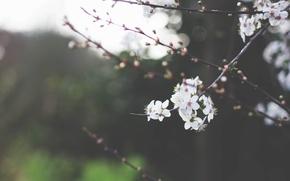 Обои зелень, небо, макро, деревья, цветы, ветки, природа, вишня, ветви, ветка, весна, лепестки, размытость, белые, цветение