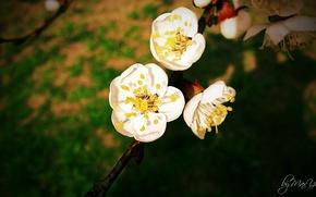 Картинка Цветок, сакура, яблоня, персик, белый цветок