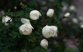 Картинка листья, цветы, куст, розы, лепестки, белые