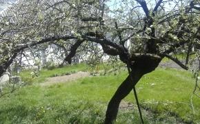 Картинка зелень, лето, яблоня