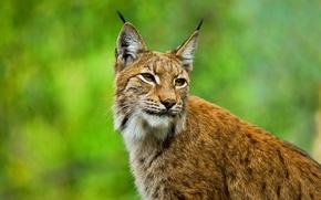 Обои взгляд, Рысь, морда, европейская, бакенбарды, уши, дикая кошка, кисточки