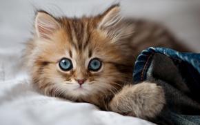 Обои кошка, cat, kitty, eyes, cute, paws, blue eyes, глаза