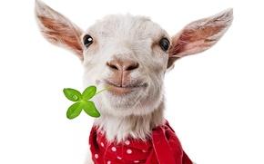 Картинка морда, шарф, клевер, коза, козёл, козлёнок
