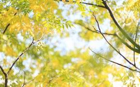Картинка листья, ветки, природа, дерево, желтые, плоды, солнечно