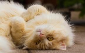 Обои котейка, взгляд, лапочка, рыжий кот, кот