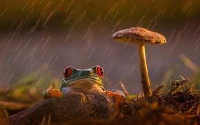 Картинка грусть, задумчивость, дождь, гриб, лягушка, лапки, оранжевые, зеленая, красные глаза, rain, разноцветная, frog, red eyes, ...