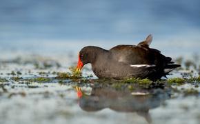 Картинка lake, reflection, wildlife, nest, mirror, gallinule
