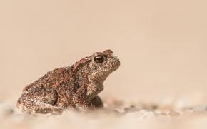 Картинка песок, лягушка, размытость, жаба, боке