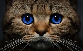Картинка кошка, кот, усы, взгляд, морда, голубые глаза