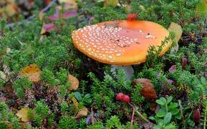 Картинка гриб, мох, мухомор, брусника