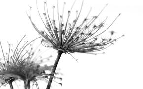 Картинка цветок, одуванчик, семена, пух, пушинки, flower, Dandelion, seed, семечко, fluff, венчики