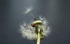Обои одуванчик, ветер, цветок