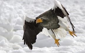 Обои взгляд, взлет, Белоплечий (тихоокеанский) орлан (Haliaeetus pelagicus), стремление ввысь, набор высоты