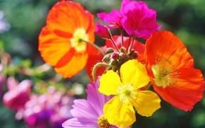Картинка цветы, природа, краски, маки, лепестки
