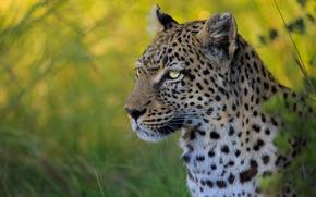 Обои портрет, боке, морда, дикая кошка, леопард
