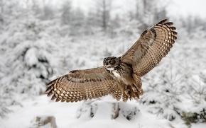 Картинка зима, крылья, Филин