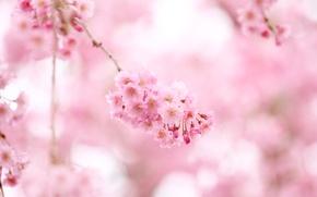Картинка цветы, природа, розовый, ветви, нежность, цвет, весна, сакура, розовые, цветение
