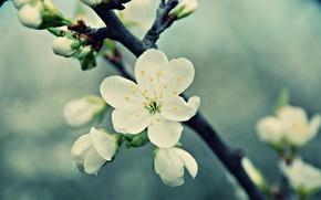 Обои макро, ветка, белый, цветок, лепестки, цветение, вишня, весна