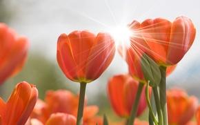 Обои цветы, flowers, природа, цветок, блик, бутоны, тюльпаны