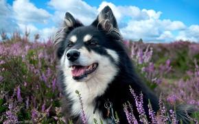 Картинка поле, собака, лаванды