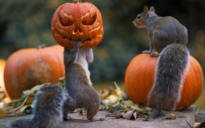 Обои halloween, белки, тыквы, хлопоты