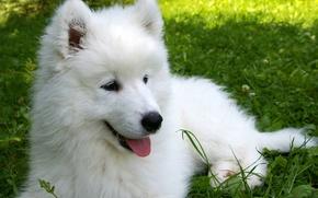Картинка трава, щенок, самоед