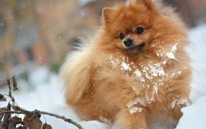 Картинка зима, осень, белый, листья, снег, в снегу, в сугробе, снежный, игра, собака, ветка, мохнатый, рыжий, …