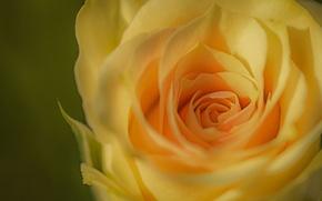 Картинка макро, роза, бутон, жёлтая, жёлтая роза