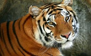 Картинка кошка, дикая, животное, хищник, усы, взгляд, морда, окраска, тигр, полоски, зверь, шерсть, глаза