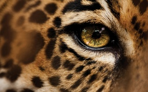Обои леопард, макро, глаза