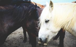 Картинка horses, bokeh, Iceland, ponies