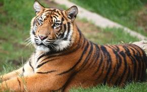 Обои лежит, лужайка, Тигр