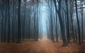 Картинка лес, деревья, туман, утро, дорожка
