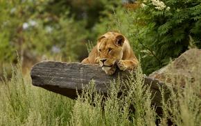 Картинка трава, камень, львица