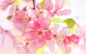 Картинка цветки, яблоня, макро, цветение