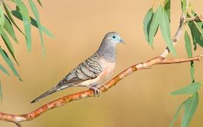 Картинка птица, голубь, ветка