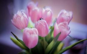 Картинка цветы, розовый, букет, лепестки, тюльпаны, красивые цветы, розовые тюльпаны