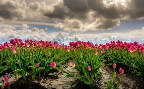 Картинка поле, небо, облака, ветер, фотошоп, тюльпаны, Нидерланды, много