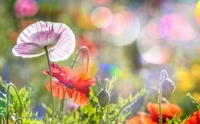 Картинка лето, солнце, блики, маки, Poppies