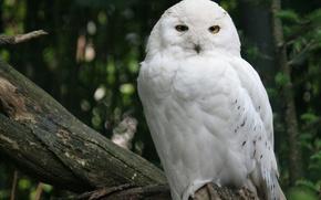 Картинка лес, дерево, птица, белая, Снежная сова