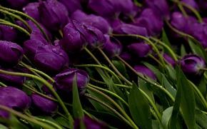 Картинка вода, капли, цветы, стебли, Тюльпаны, фиолетовые, бутоны