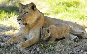 Картинка взгляд, отдых, тень, лев, львица, львёнок