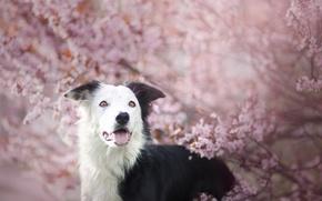 Картинка розовый, собака, весна, цветение, нежно, бордер-колли, обои от lolita777