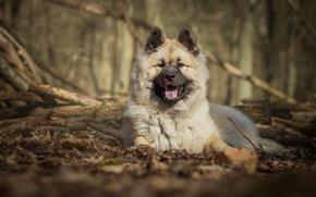 Картинка собака, пёс, Евразиер