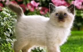 Картинка цветы, гуляет, котенок, кошка, кошки